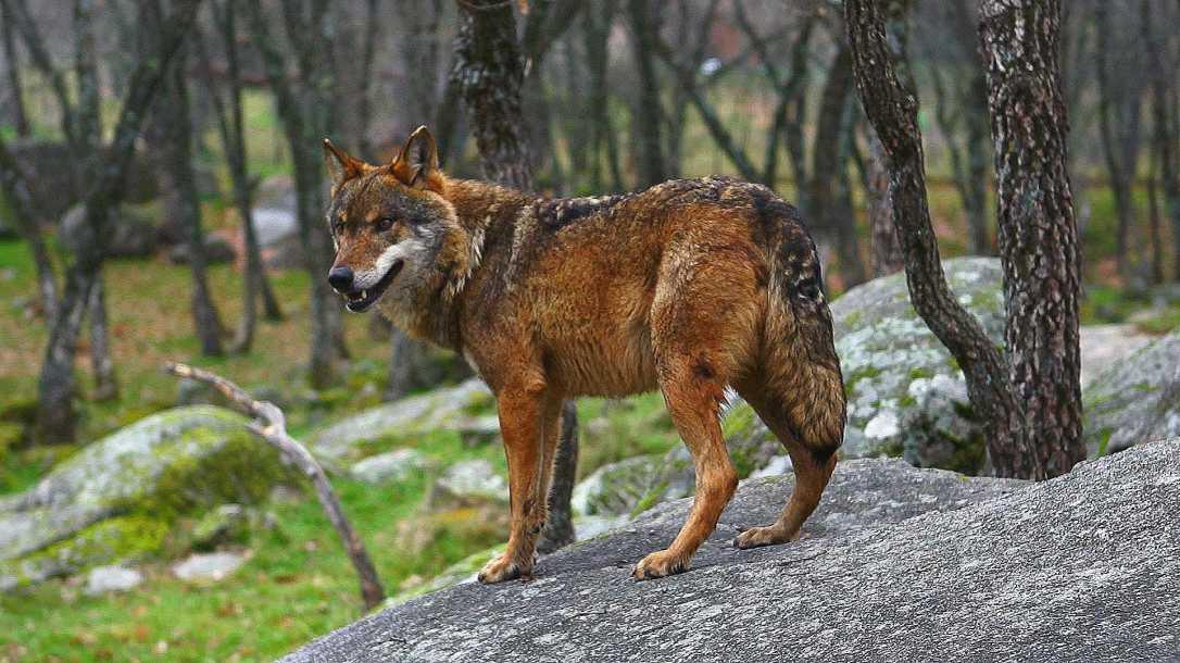 lobo-ibérico 1
