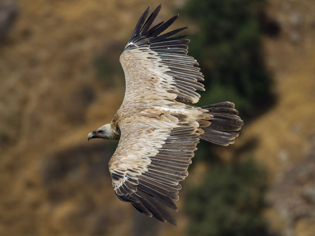 1280px-griffon_vulture_(gyps_fulvus)_in_flight